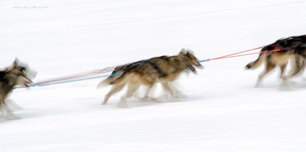 Psie záprahy