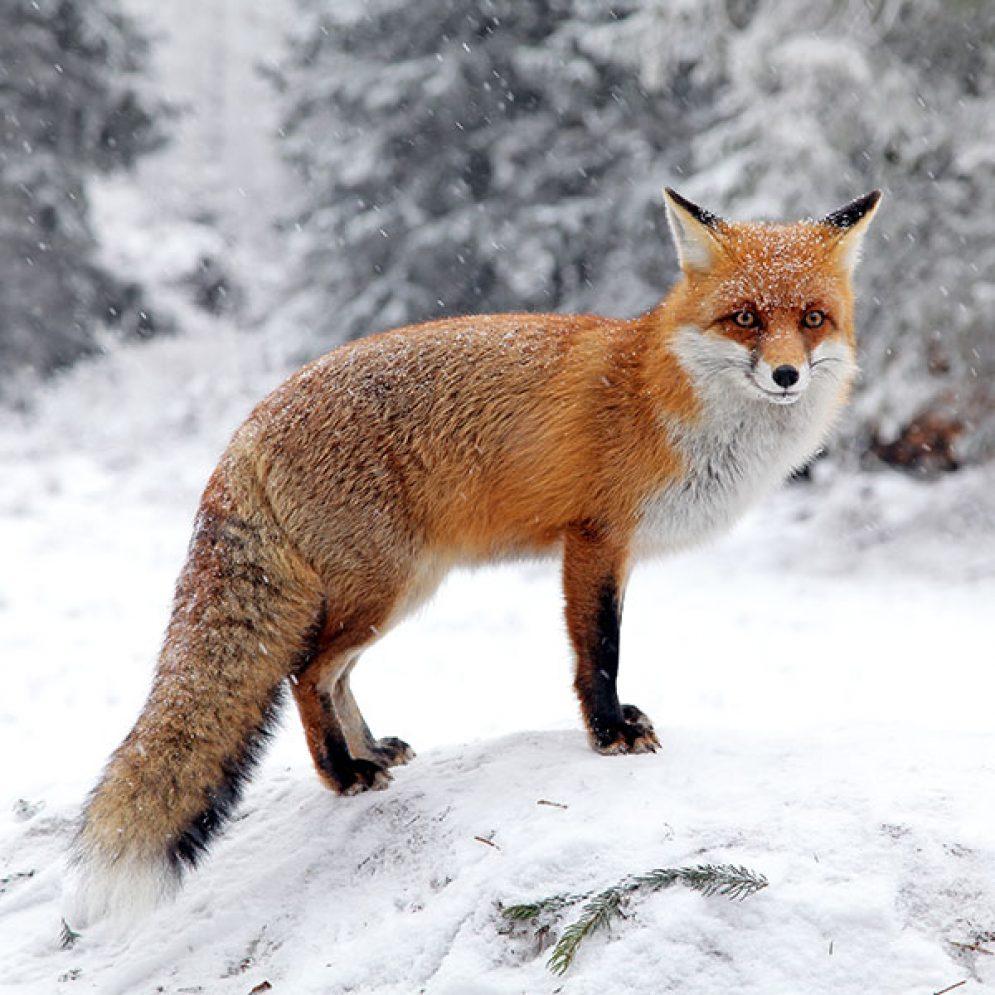 Model fox in High Tatras mountains
